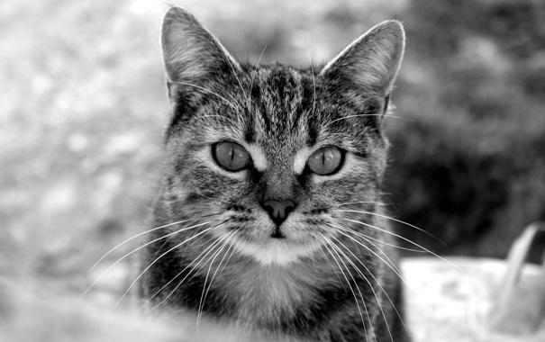 Фото обои усы, морда, черно-белое, Котяра