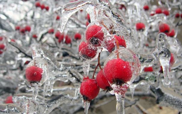Фото обои лед, иней, макро, шиповник