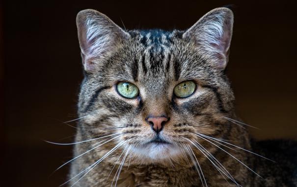 Фото обои кот, взгляд, серый, фон, портрет, полосатый