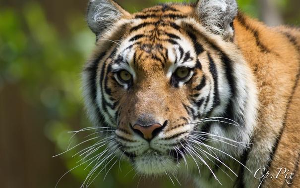 Фото обои морда, тигр, портрет, хищник, дикая кошка