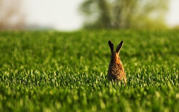 Фото обои поле, трава, заяц