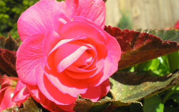 Фото обои цветы, природа, дача