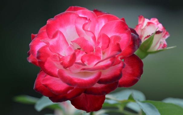 Фото обои цветок, листья, роза, куст, лепестки, бутон