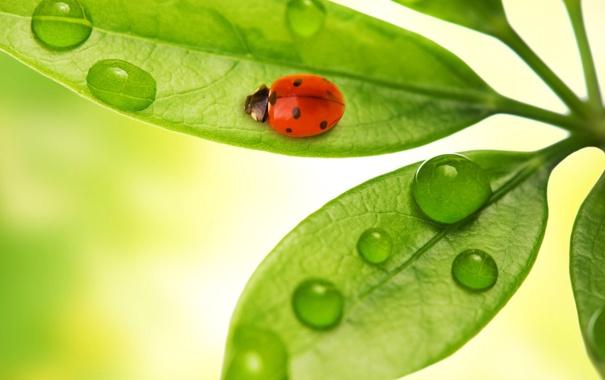 Фото обои листья, капли, макро, насекомые