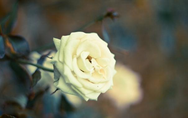 Фото обои цветок, листья, макро, природа, роза, лепестки, размытость