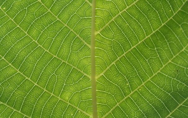 Фото обои жилки, лист, patterns