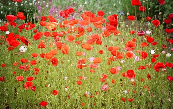 Фото обои поле, лето, красный, маки