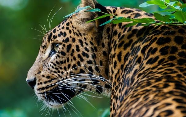 Фото обои хищник, пятна, леопард