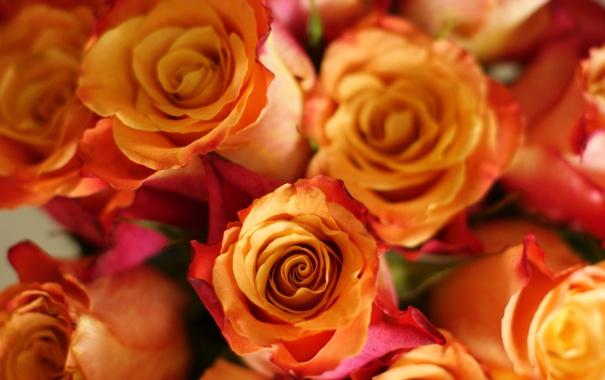 Фото обои цветы, фон, widescreen, обои, роза, розы, бутон