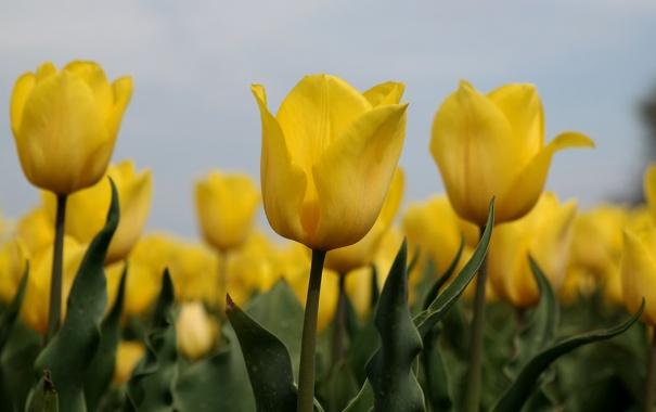 Фото обои небо, листья, макро, природа, лепестки, стебель, тюльпаны
