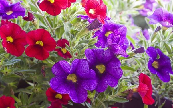 Фото обои листья, цветы, фиолетовые, красные, red, flowers, violet leaves