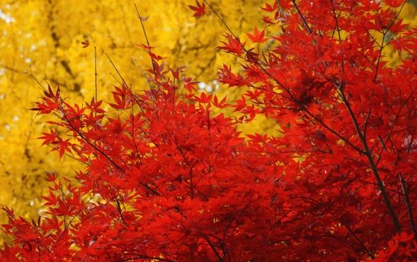 Фото обои осень, листья, деревья, желтые, красные, клен, крона
