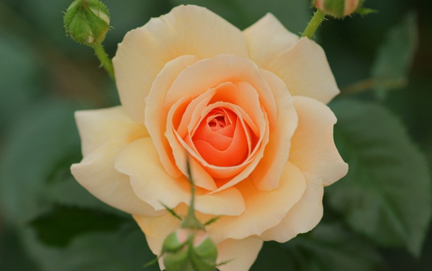 Фото обои роза, лепестки, бутоны