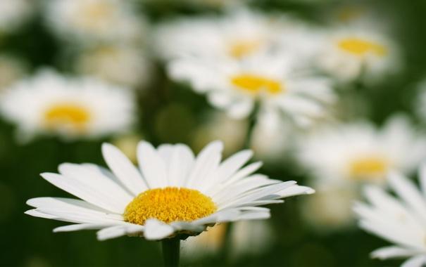 ромашка цветы фокус  № 1096363 без смс