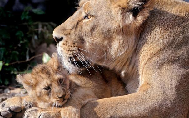 Фото обои хищники, львица, львенок, на земле отдыхают, лежат вместе