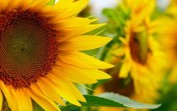 Фото обои поле, подсолнухи, цветы