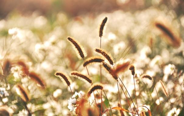 Фото обои трава, цветы, колоски