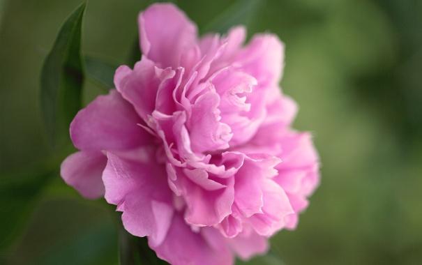 Фото обои зелень, цветок, макро, розовый, лепестки, пион