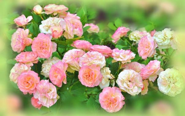 Фото обои цветы, куст, розы, размытость, розовые, белые, бутоны
