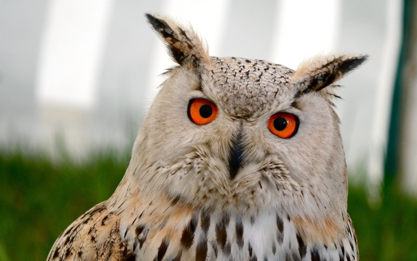 Фото обои глаза, взгляд, сова, птица, уши, оперение