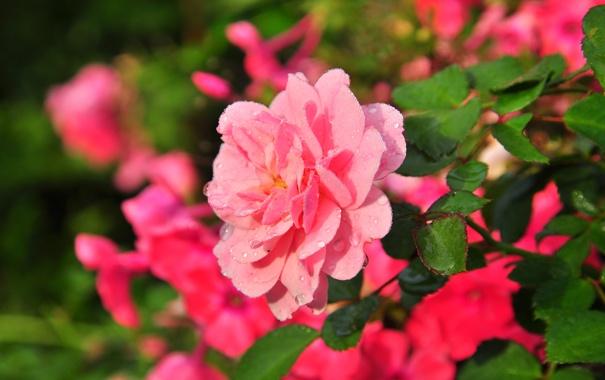Фото обои цветы, розовая, роза, красивая