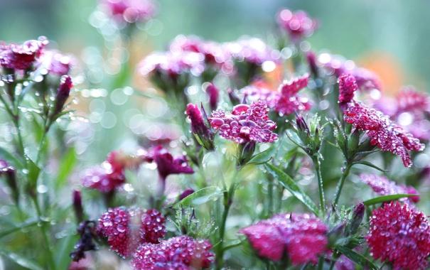 Фото обои макро, цветы, природа, роса, гвоздики