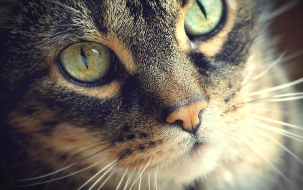 Фото обои кошка, глаза, кот, усы, морда, шерсть