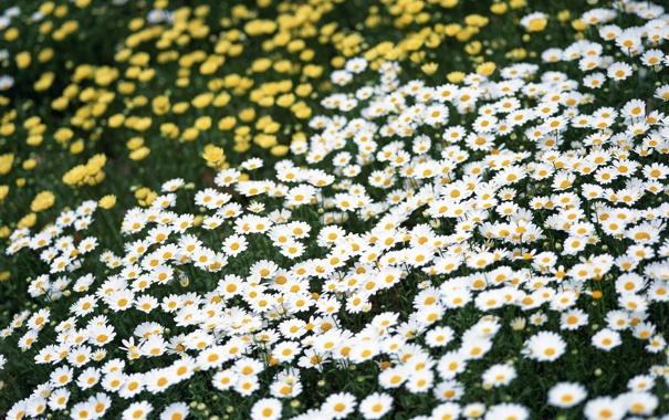 Фото обои поле, лето, цветы, ромашки, желтые, белые