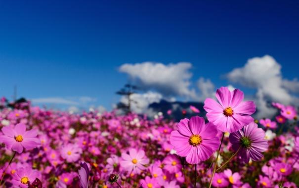 Фото обои поле, небо, цветы, размытость, космея