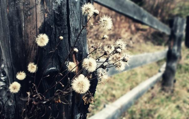Фото обои осень, макро, природа, забор, одуванчики