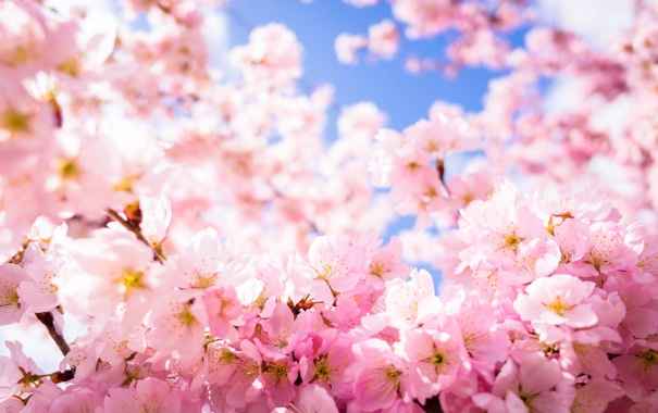 Фото обои красота, лепестки, сакура, цветение