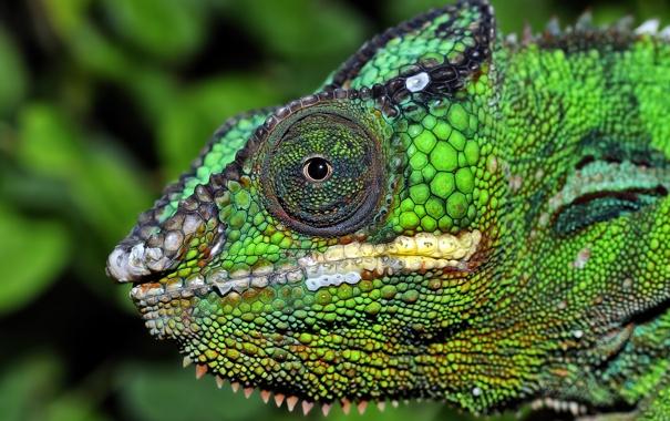 Фото обои цвет, глаз, хамелеон, рептилия, голова