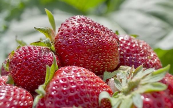 Фото обои ягода, клубника, грядка, лето, фрукты, зелень, макро