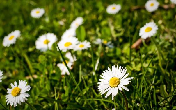 Фото обои трава, цветы, природа, ромашки