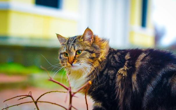 Фото обои кошка, усы, взгляд, красавица
