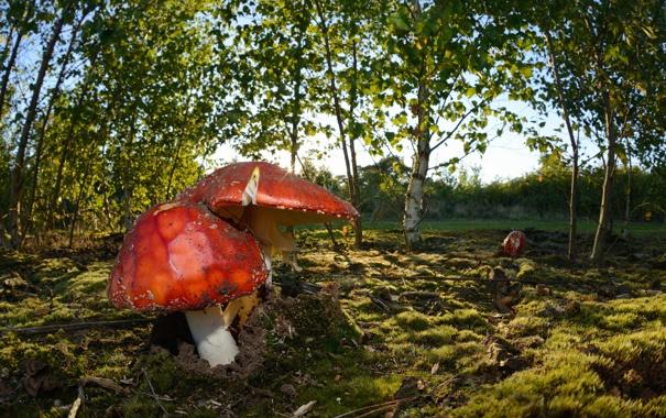 Фото обои осень, природа, грибы