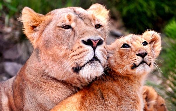 Фото обои взгляд, львица, львенок