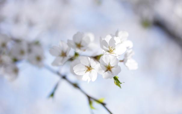 Фото обои небо, природа, вишня, веточка, весна, белая, цветение