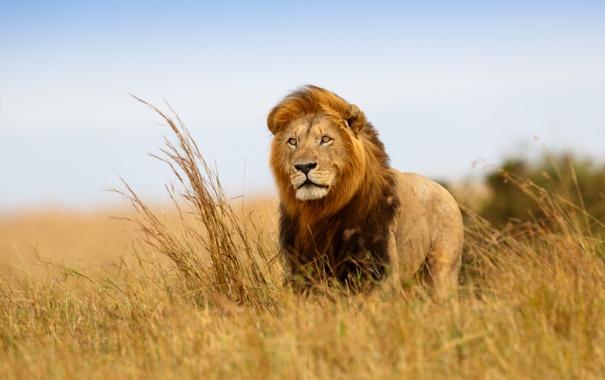 Фото обои взгляд, ветер, Лев, царь зверей, саванна, Африка, наблюдение