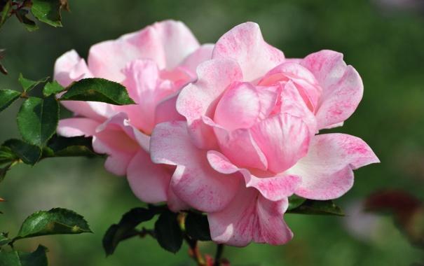 Фото обои розочка, макро, цветы