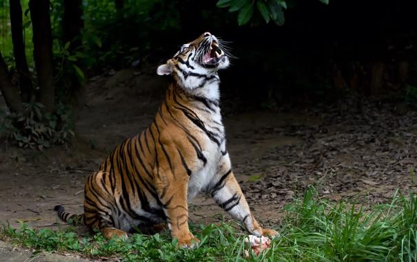Фото обои трава, тигр, профиль, суматранский