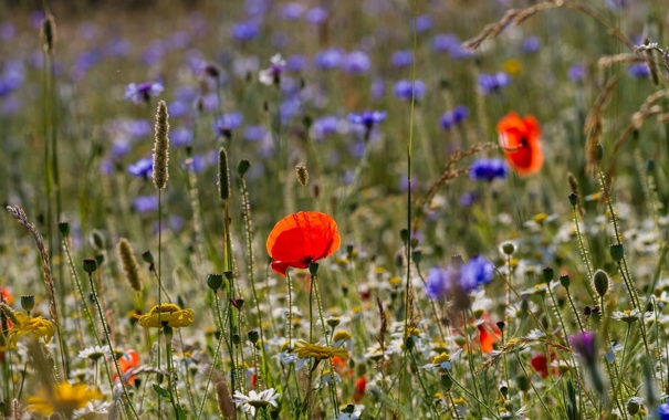 Фото обои лето, трава, макро, цветы, мак, ромашка, луг