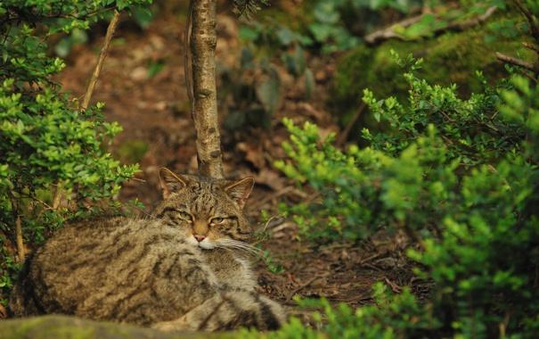 Фото обои кошка, кот, куст, дикий, шотландский