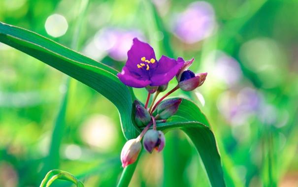 Фото обои зелень, цветок, фиолетовый, макро, природа, зеленый, растение