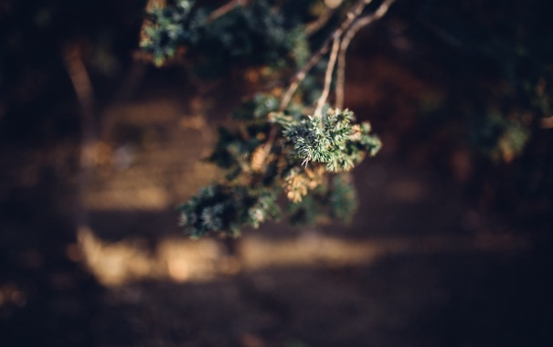Фото обои иголки, ветка, дерево