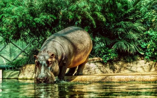 Фото обои животные, бегемот, бегемот в Берлинском зоопарке