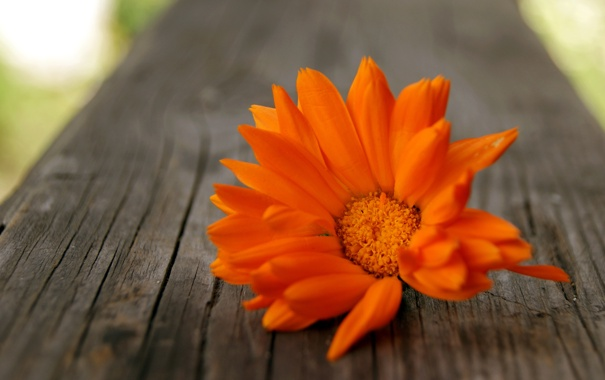 Фото обои цветок, макро, Календула