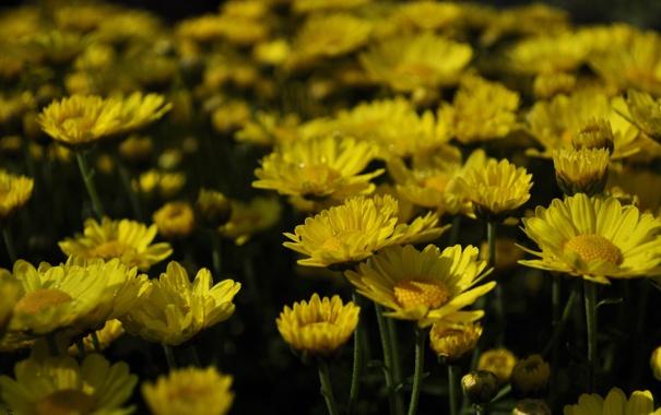 Фото обои цветок, цветы, желтые, flower, вечеровский