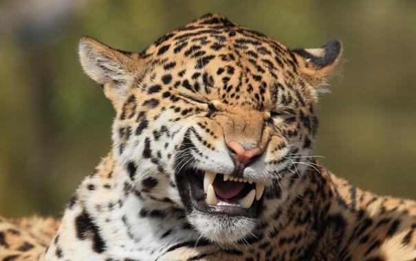 Фото обои морда, хищник, пасть, клыки, ягуар, дикая кошка, гримаса