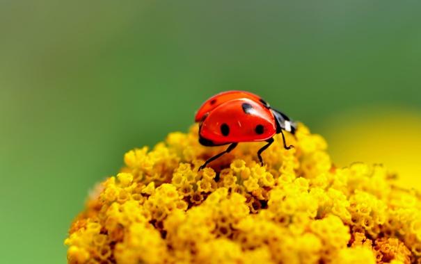 Фото обои божья коровка, ярко, насекомое, жук, макро, цветы